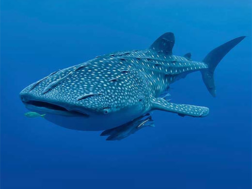 Whale Shark Tour Cancun and Playa Del Carmen