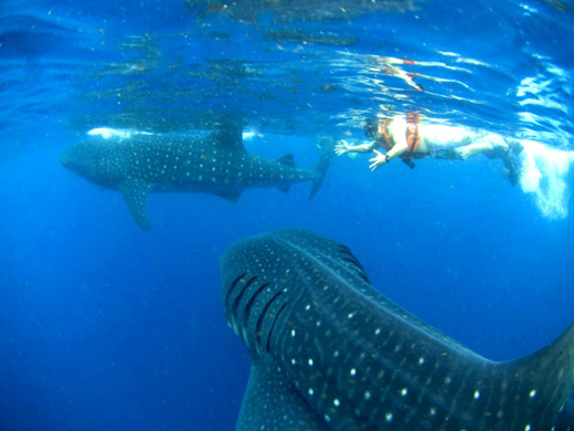 Whale Shark Tour Adventure